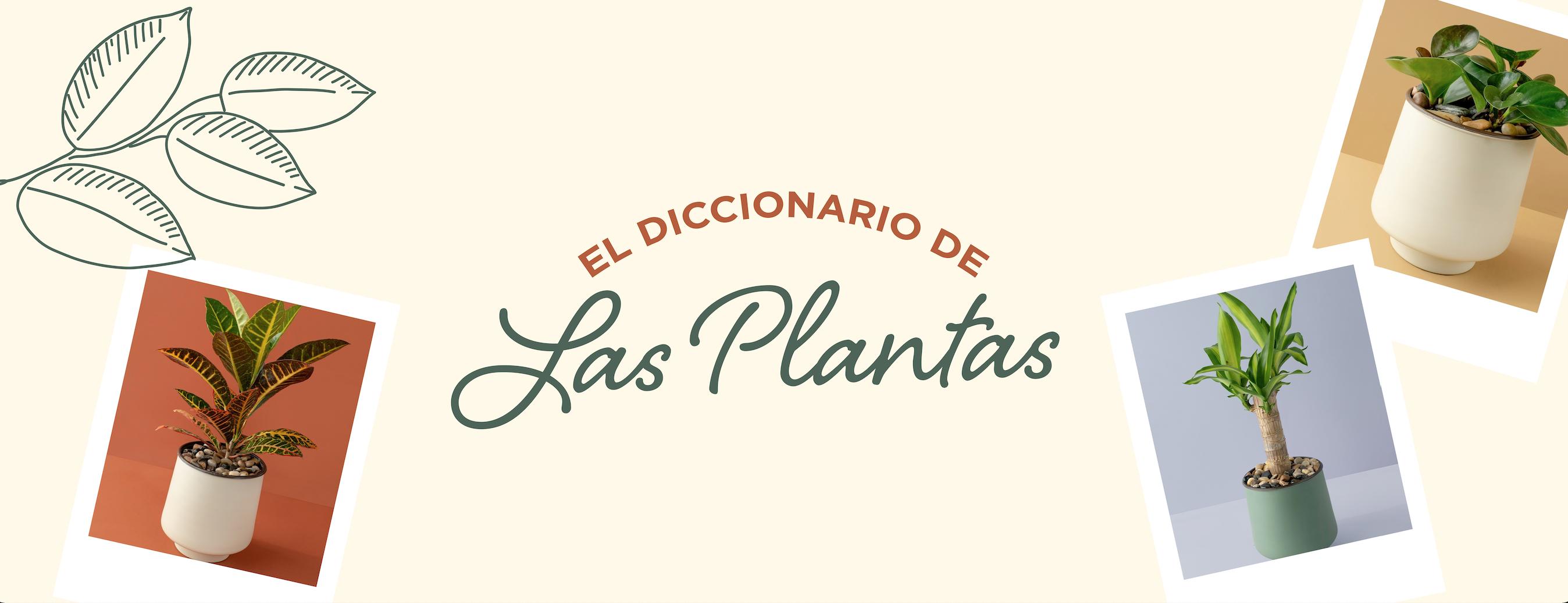 Planta Kalanchoe  cover